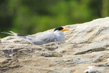 Free River Tern Stock Images - 4290774