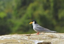 Free River Tern Royalty Free Stock Image - 4290776