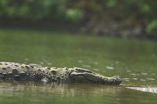 Free Crocodile Royalty Free Stock Images - 4290789
