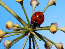 Free Lady Bug On A Star Stock Photos - 4290833