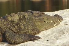 Free Crocodile Stock Images - 4290844