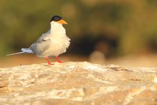 Free River Tern Stock Photo - 4290860