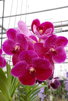 Free Close Up Of Fucsia Orchid Flower Royalty Free Stock Photography - 4290867