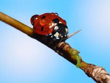 Free Poor Wet Lady Bug Royalty Free Stock Photos - 4290868
