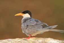 Free River Tern Stock Photo - 4290920