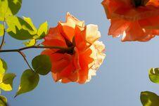 Free Orange Rose Royalty Free Stock Image - 4293546