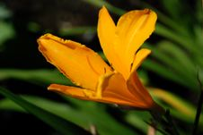 Free Orange Flower Royalty Free Stock Photos - 4293548