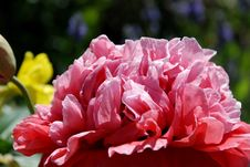 Free Pink Flowers Royalty Free Stock Photography - 4293677