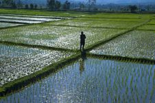 Free Man In A Rice Field Royalty Free Stock Photos - 4293898
