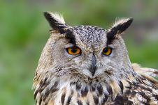 Free Eagle Owl Royalty Free Stock Image - 4294156