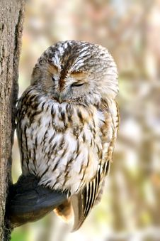 Free Owl Stock Images - 4294164