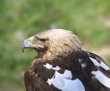 Free Eagle Royalty Free Stock Photography - 4294167
