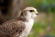 Peregrine Falcon ( Falco Peregrinus ) Stock Photography