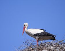 Free White Stork ( Ciconia Ciconia ) Royalty Free Stock Images - 4294259