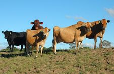 Free Cattle Stock Photography - 4294332