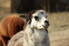 Free Llama Stock Photo - 4295110