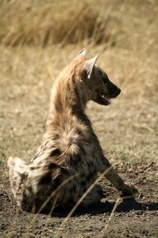 Free Spotted Hyena Royalty Free Stock Photography - 4295147