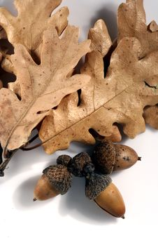 Free Acorn Isolated Stock Photos - 4295153