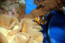 Free Clown Fish Stock Photography - 4296782