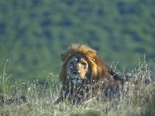 Free Resting Lion Royalty Free Stock Photos - 4296968