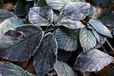 Free Plant Leaves Frost Royalty Free Stock Photos - 4297418