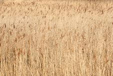 Free Reed Bed Background Stock Photo - 4297730