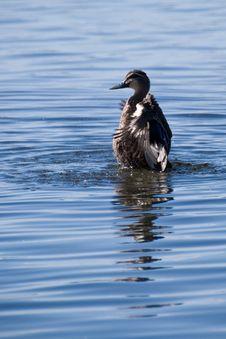 Free Black Duck Washing In Blue Lake Royalty Free Stock Photos - 4297878
