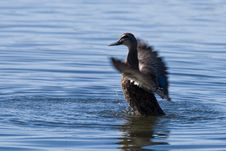 Black Duck Washing In Blue Lake Stock Images
