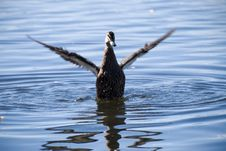 Free Black Duck Washing In Blue Lake Royalty Free Stock Images - 4297929