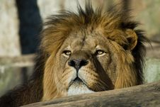 Big African Male Lion Stock Photos