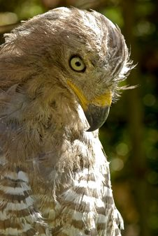 Varmint Bird - African Hawk Close-up Portrait Royalty Free Stock Photos