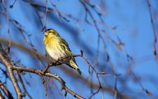 Free Siskin Royalty Free Stock Photography - 4299627