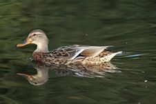 Duck On Pond Royalty Free Stock Photo