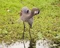 Free Great Blue Heron Preening Royalty Free Stock Image - 438676