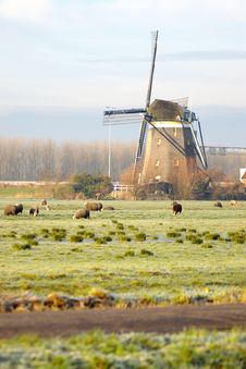 Dutch Mill And Sheep Stock Photos