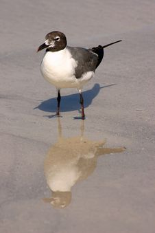 Free Sea Gull Reflections Royalty Free Stock Photo - 431525