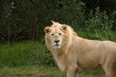 Free White Lion Stock Image - 432181