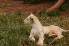 Free White Lion Pup Royalty Free Stock Images - 432189
