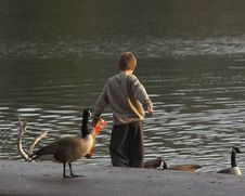 Free Child & Geese 2 Royalty Free Stock Photo - 433385