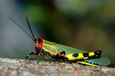 Free Coloured Grasshopper Stock Images - 435234