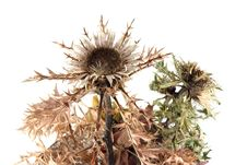 Free Dried Thistles Stock Photography - 435562