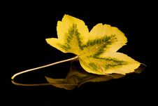 Free Golden Leaf Royalty Free Stock Photos - 435698