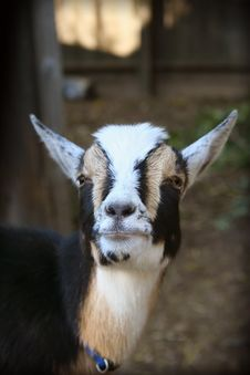 Free Goat Stock Photography - 436042