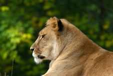 Free African Lion Stock Photography - 436252