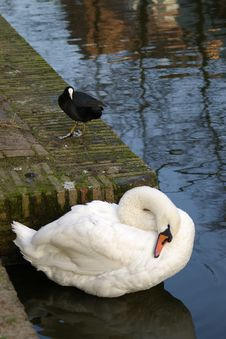 White Swan And Black Water Bird Stock Photos