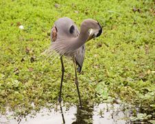 Free Great Blue Heron Preening Royalty Free Stock Image - 438676