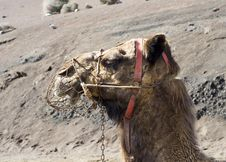 Free Camel S Head Royalty Free Stock Photos - 439438