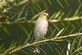 Free American Goldfinch Perchrd Stock Photos - 4301943
