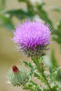 Free Thistle With Flower And Bud Royalty Free Stock Image - 4305336