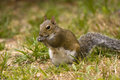 Free Gray Squirrel Eating Royalty Free Stock Photo - 4307205